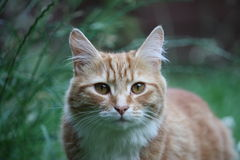 A Beautiful long haired ginger cat Stock Image