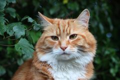 A Beautiful long haired ginger cat Stock Images