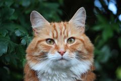 A Beautiful long haired ginger cat Royalty Free Stock Photo
