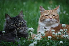 Beautiful long haired ginger and tabby cats Royalty Free Stock Images