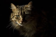 Beautiful long-haired tabby cat on a black background, as if it were emerging from the shadows. Beautiful long-haired tabby cat on a black background stock photo