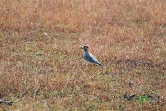 Beautiful Long Leg Bird in Field waiting. Picture of a bird with Yellow leg and Yellow Nose waiting in field to eat something and hungry too royalty free stock photos