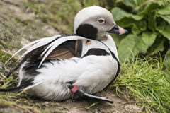 Beautiful long tailed duck Clangula Hyemalis bird Stock Photo