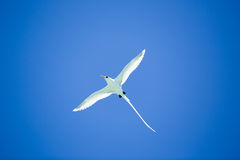 Beautiful long tailed tropic bird flies on blue sky Stock Photo