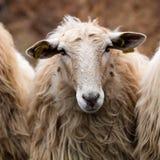 A beautiful long wool hair sheep looking at the camera Stock Photos