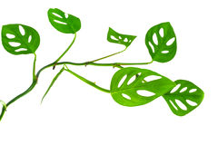 Beautiful  long young green monstera (var. expilata) branch isol Royalty Free Stock Image