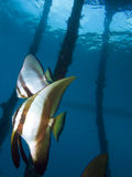 Beautiful longfin spadefish under jetty in Raja Ampat, Indonesia. Stock Images