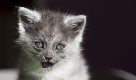 Beautiful longhair cat with blue eyes Stock Image
