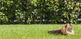Brown tabby cat in the garden, siberian breed female on the grass green Royalty Free Stock Photography