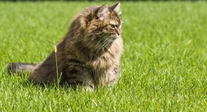 Brown tabby cat in the garden, siberian breed female on the grass green Stock Photos