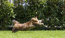 Brown tabby cat in the garden, siberian breed female walking on the grass green chasing a butterfly Stock Photo