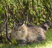 Brown tabby cat in the garden, siberian purebred male Stock Images