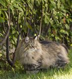 Brown tabby cat in the garden, siberian purebred male Royalty Free Stock Photo