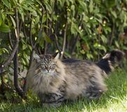 Brown tabby cat in the garden, siberian purebred male Royalty Free Stock Images