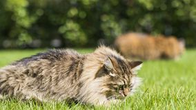 Brown tabby cat in the garden, siberian breed male on the grass green Royalty Free Stock Photo