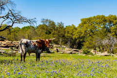 Beautiful longhorn bull. A beautiful Watusi Longhorn mix bull standing proud in a bluebonnet field on a ranch in the Texas Hill Country Stock Images