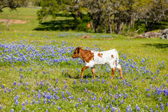 Beautiful longhorn calf Stock Photography