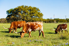Beautiful longhorn cattle Stock Photography