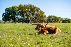 Beautiful longhorn resting Royalty Free Stock Image