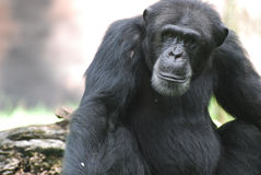 Beautiful Look at a Chimpanzee with a Solemn Look on His Face. Chimpanzee with a solemn expression on his face Royalty Free Stock Images