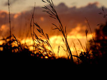 Beautiful look a grass against a sunset Royalty Free Stock Photo