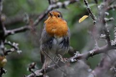 Beautiful look of a robin. Beautiful attitude of a robin photographed in a forest of La Chaux-de-Fonds in switzerland Royalty Free Stock Photo