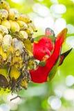 Beautiful Lory bird eating Stock Images