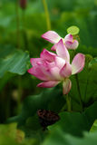 Beautiful Lotus. For background use Royalty Free Stock Photography