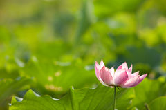 Beautiful Lotus Stock Image