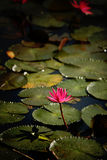 Beautiful Lotus Royalty Free Stock Image