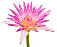 Beautiful lotus Stock Images