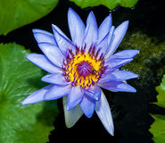 The Beautiful lotus Royalty Free Stock Images