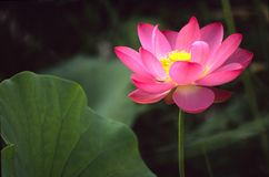 Beautiful lotus Stock Image