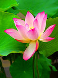 Beautiful Lotus. Pink colored beautiful lotus flower surrounded by wide green leaves in the pond Stock Images