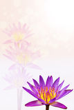 Beautiful lotus background Royalty Free Stock Photo