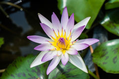 Beautiful lotus background. On blur background Stock Images