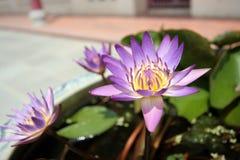 Beautiful lotus at Bangpa-in Palace stock photo