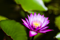Beautiful Lotus Stock Photo