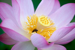Beautiful Lotus with bee Royalty Free Stock Image