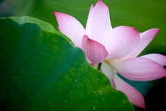 Beautiful Lotus with bee Royalty Free Stock Photos