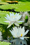 Beautiful lotus. In big pond Stock Photography