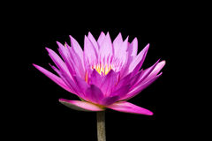 beautiful lotus Royalty Free Stock Photography
