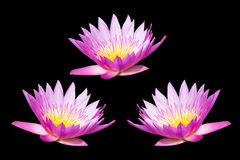 beautiful lotus Royalty Free Stock Photos