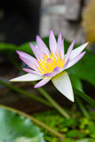 Beautiful lotus bloomed in the water Stock Photos