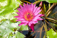 Beautiful lotus blooming. In the pond Stock Image