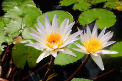 Beautiful lotus blooming. In the pond Stock Photo