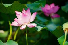 Beautiful lotus Royalty Free Stock Images