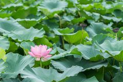 Beautiful lotus blossoms in pool stock photos