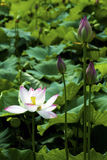 A beautiful lotus in the countryside of China Stock Image