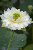 A beautiful lotus in the countryside of China Stock Images